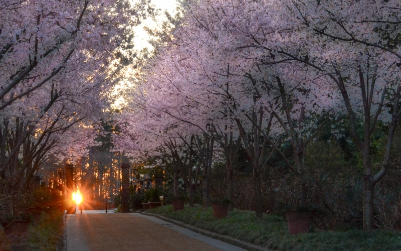 trees, road, landscape, season, nature, sunset, light, spring, gardens, park, flowers, bloom, blosom
