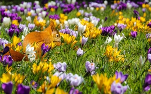 nature, flowers, crocus, animal, squirrel, spring, bloom, colorful, meadow, grass