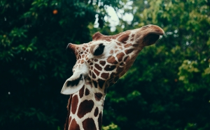 animal, blur, close-up, cute, focus, giraffe, head, long neck, mammal, nature, wild animal, wildlife