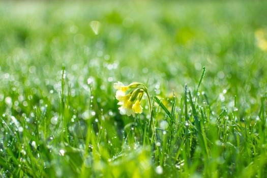 dew, droplets, flower, grass, greenery, nature, primrose, spring, wet, fresh