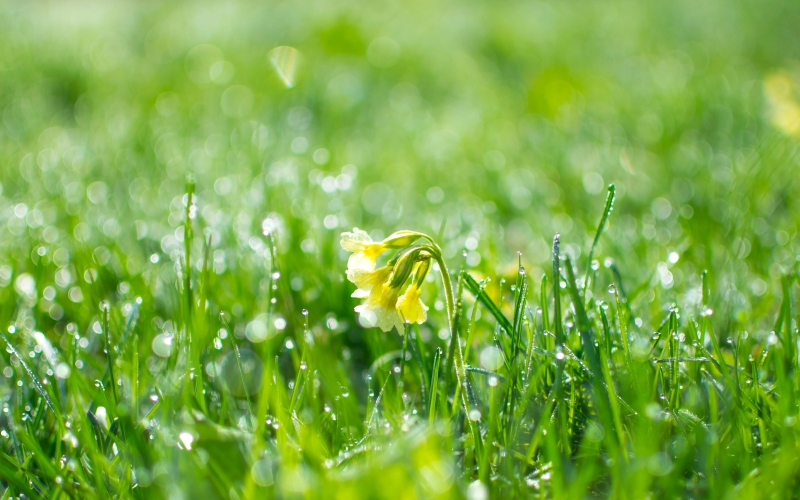 dew, droplets, flower, grass, greenery, nature, primrose, spring, wet, fresh