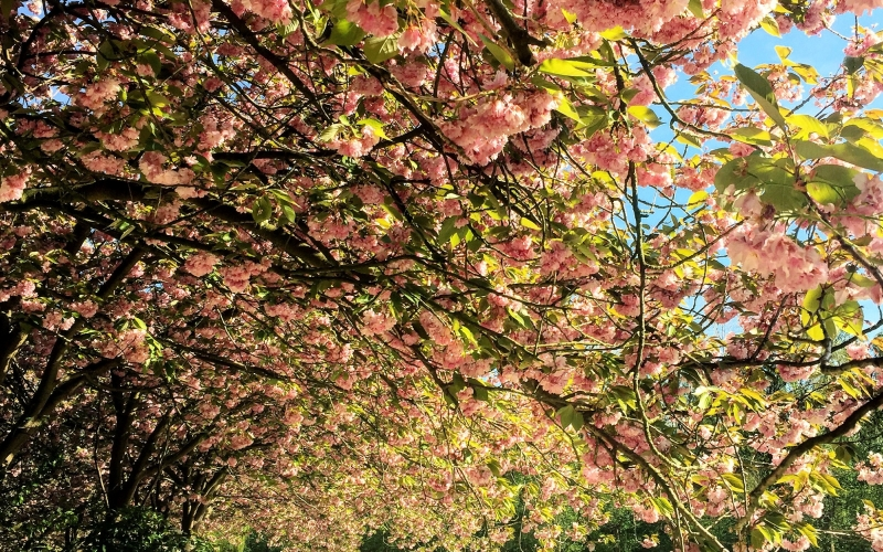 blooming, blossom, branches, flowers, growth, leaves, nature, outdoors, park, petals, spring, trees