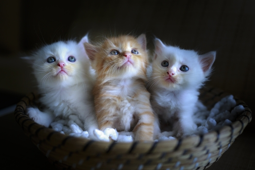cats, cute, portrait, small, lovely, sweet, baby, pets, kittens, young, purebred, grey, nice