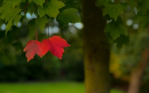 blur, red, leaf, season, autumn, landscape, outdoor, tree, october, september, foliage, fall, green, leaves, nature