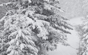 snowstorm, december, snow, winter, forest, fir, wood, trees, snowfall, nature