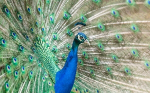 bird, wing, beak, feather, fauna, peacock, galliformes, vertebrate, peafowl, game bird, phasianidae, bright, colorful