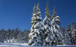 snow, pine trees, winter, evergreens, forest, wood, landscape, scenic, cold, wilderness, blue sky