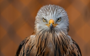 falcon, bird, feathered, portrait, predator, nature, beak