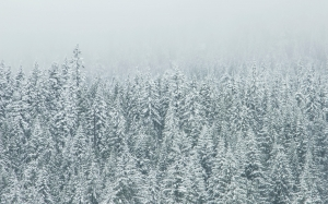 trees, nature, forest, snow, winter, frost, evergreen, fir, season, spruce, tundra, freezin