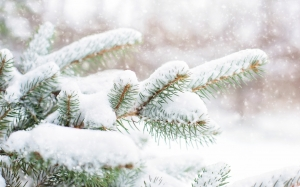 spruce, pine, branch, winter, snow, tree, evergreen, nature, season