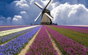 field, flowers, purple, sky, windmill, english lavender, spring, tulips, crop, wind, meadow, lavender, lily family