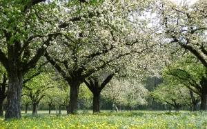 apple, blossoms, apple blossoms, nature, garden, spring, trees, dandelions