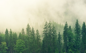 fog, coniferous forest, spruce, forest, green, nature, trees, conifers, landscape, fir forest, wood, evergreen, pines, clouds