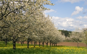 cherrytrees, spring, garden, nature, dandelions, field, blossom, bloom, landscape, trees