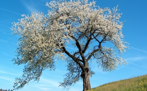 prunus avium, wild cherry, flowers, bloom, blossom, spring, nature, blue sky, tree, landscape