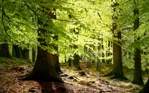 beech, leaves, forest, spring, nature, wood, trees