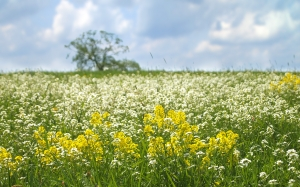landscape, tree, nature, grass, plants, sky, white, field, meadow, prairie, flower, spring, green, yellow, agriculture, rapeseed, wildflower, flowers, clouds, grassland