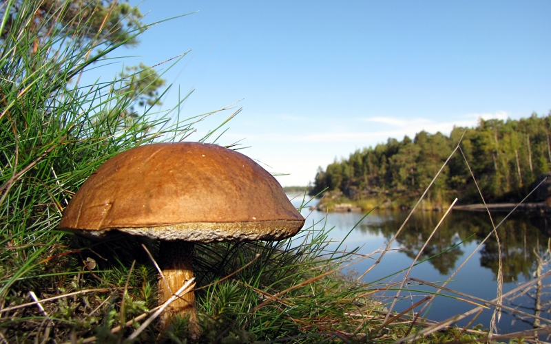 boletus, forest, lake, finland, nature, wood, blue sky, mushroom