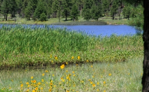 lake, reed, grass, forest, pine, wild flowers, landscape, nature