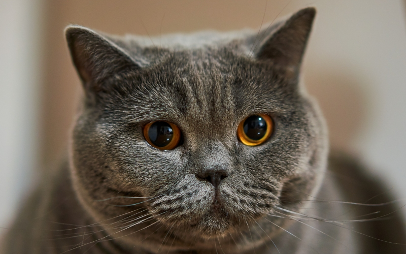female, cat, british shorthair, pet, cozy, grey, gray