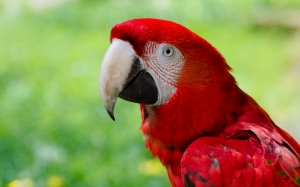 green-winged macaw, scarlet macaw, zoo, red, hybrid, ara chloropterus, ara macao, parrot, bird