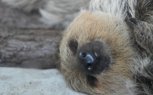 cute, animal, comfortable, snout, sloth, three toed sloth, wildlife, two toed sloth, fawn, zoo