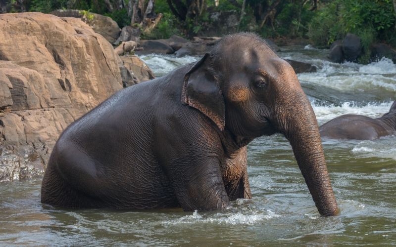 asian elephant, elephas maximus, bathing, tad lo river, laos, nature, animal, water, nature