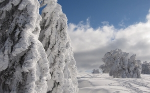 snow, winter, firs, wintry, winter forest, nature, cold, snowy, forest, landscape, frosty, frozen, spruce, advent, white, blue