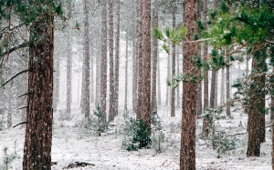 woods, snowy, snowfall, trees, winter, wintry, forest, blizzard, scenic, december, january, wonderland, cold, snowing, snow, nature