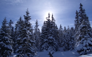 landscape, trees, nature, forest, wilderness, snow, winter, fir, season, conifer, spruce, wintry, cold