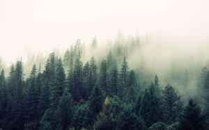 trees, nature, forest, wilderness, mountain, fog, mist, sunlight, morning, evergreen, weather, fir, spruce, woodland, ecosystem, natural, environment, wood, coniferous