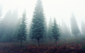 landscape, trees, nature, forest, grass, cold, fog, mist, morning, fall, autumn, weather, fir, outdoors, spruce, woodland, ecosystem