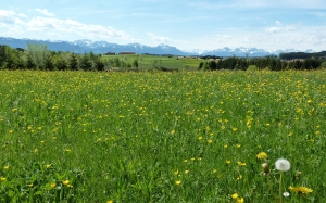 meadow, dandelions, spring, flowers, mountains, panorama, outlook, landscape, nature