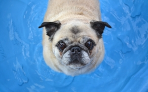 pug, dog, pet, animal, pool, water, summer, heat, humid, cooling, cute, funny